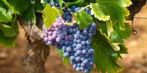 vines-1747224_1920-e1527442014992